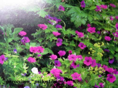 geranium-psilostemon