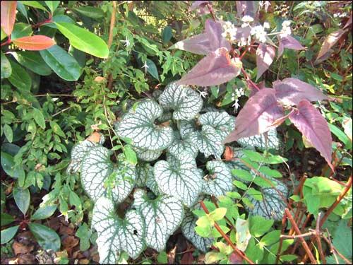 brunnera-variegata