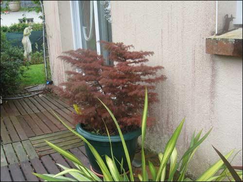 cryptomeria-japonica en automne