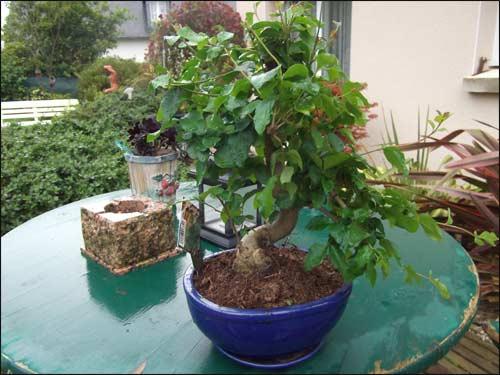 nouveau-bonsai-septembre-2011