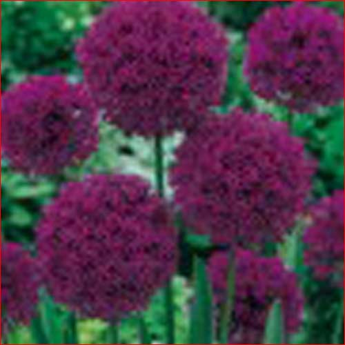 allium-purple-sensation