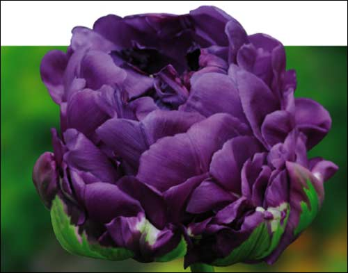 tulipe_negrita_double_