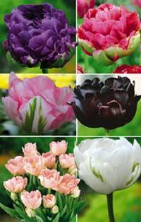 tulipes_pivoines_