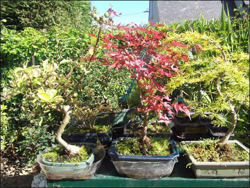 mes-bonsais en été