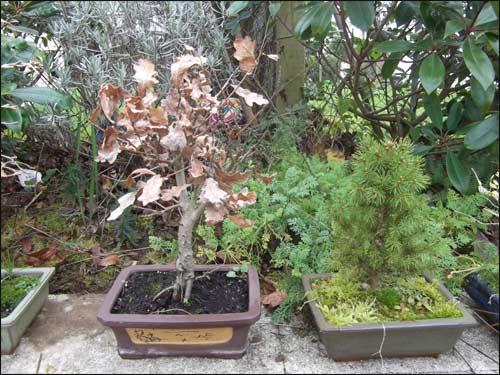 bonsais-hiver-2011 chêne