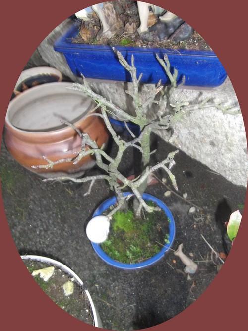 autre-bonsai-Irma