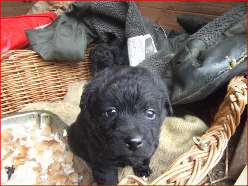 mon-futur-petit-chien