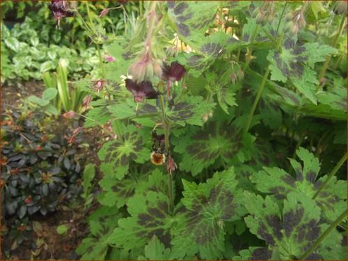 geranium-phaeum