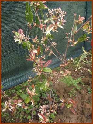 photinia-davidiana