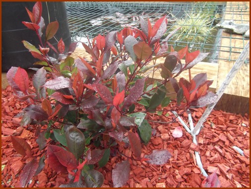 photinia-nana-red-robin
