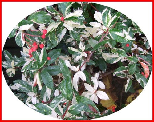 photinia_davidiana