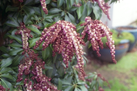 pieris-japonica-flamingo-