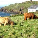 vaches-en Cornouaille