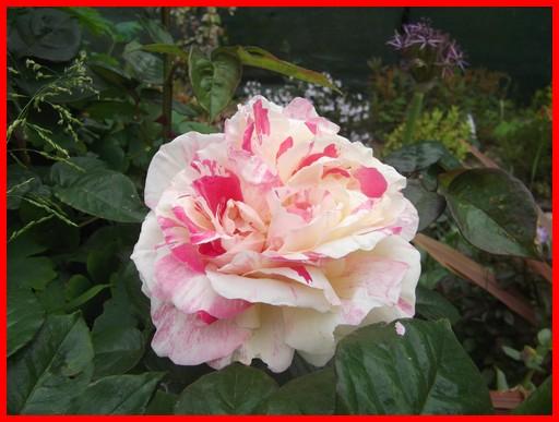 rosier-vanille-fraise