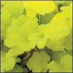 heuchere-citron