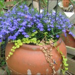 Lobélias bleus