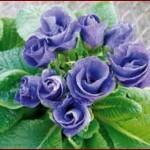primeveres-bouquets-de-rose