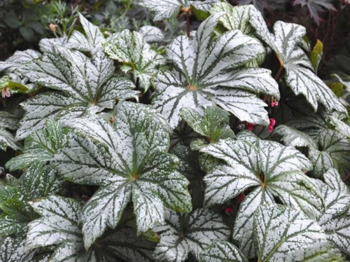 Begonia silver splender