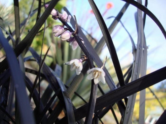 ophiopogon negra