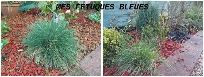 Deux jolies fétuques bleues
