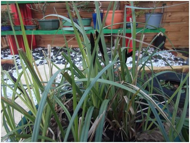 herbe bleue a épis noir