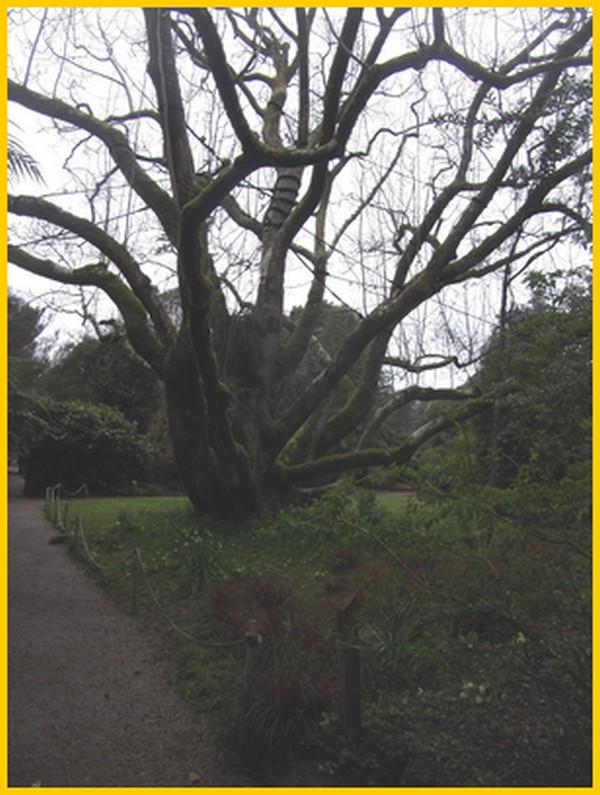 """Très vieux """" magnolia """""""