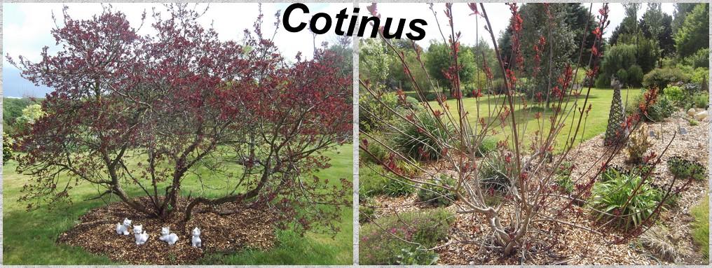 """Deux variétés de """" cotinus"""""""