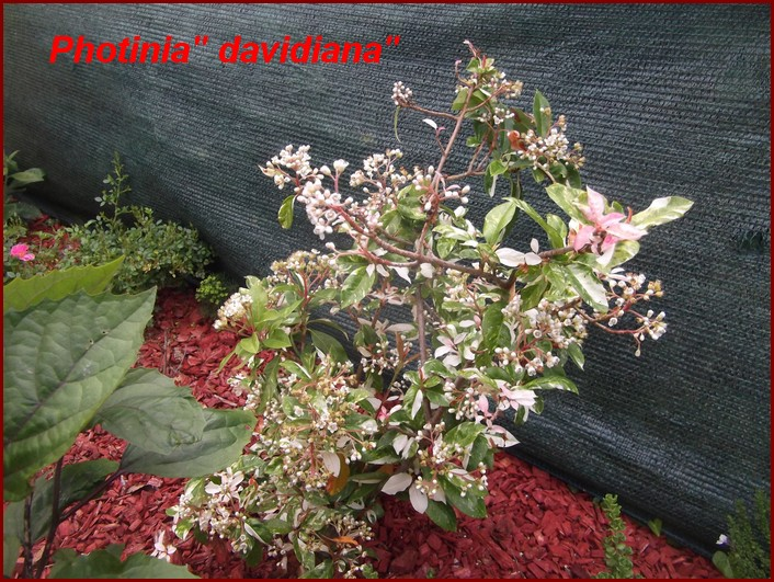 Photinia - Davidiana-