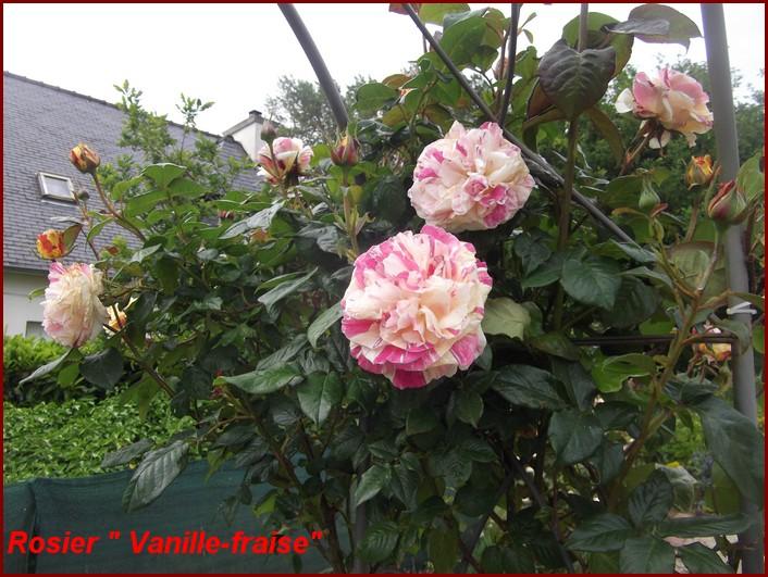 Rosier -Vanille-Fraise -