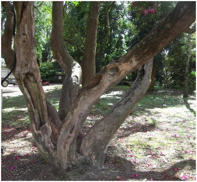Le vieux tronc du rhodo