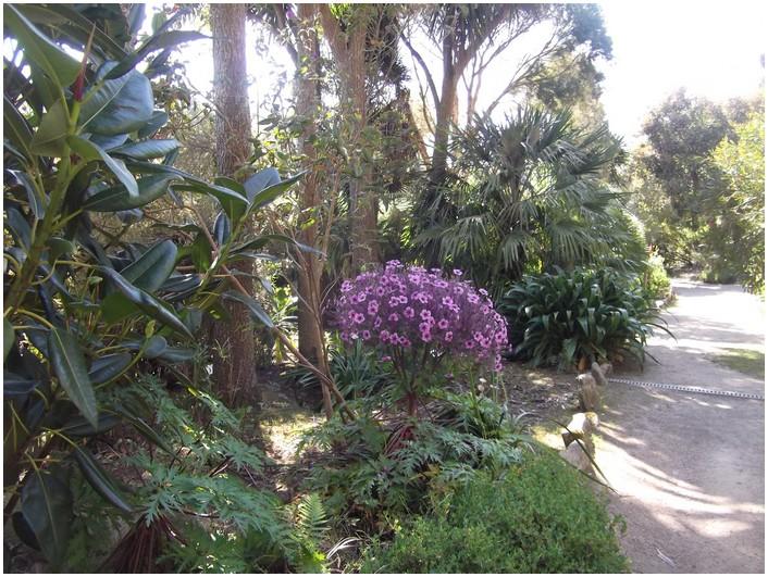 Géraniums de Madère