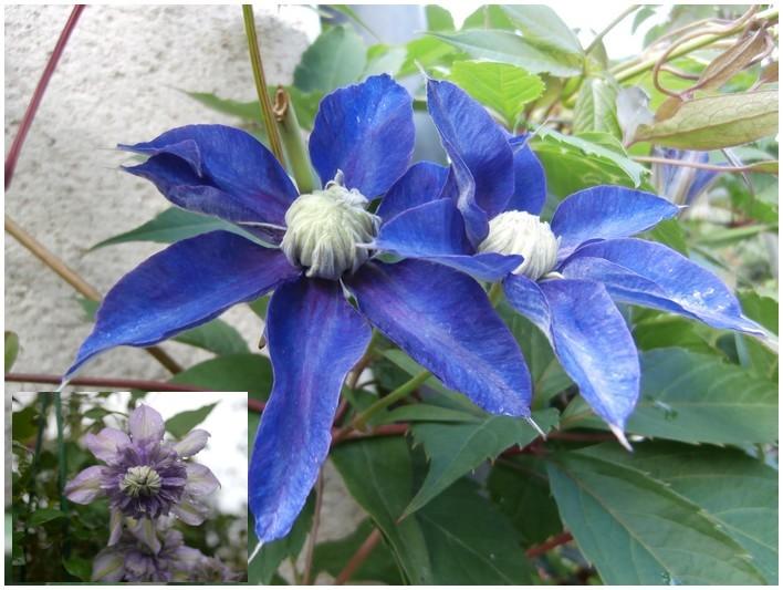 """Clématite """" multi-blue """""""
