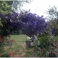 clematite bleue