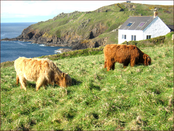 Les vaches de Cornouailles