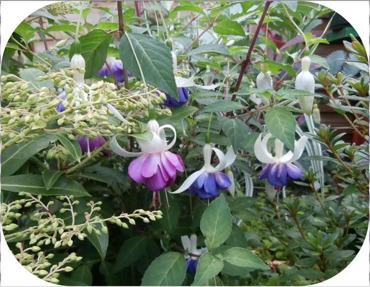 "Fuchsia "" Blue- Sarah """