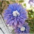 """Clématite """" multi-blue"""""""