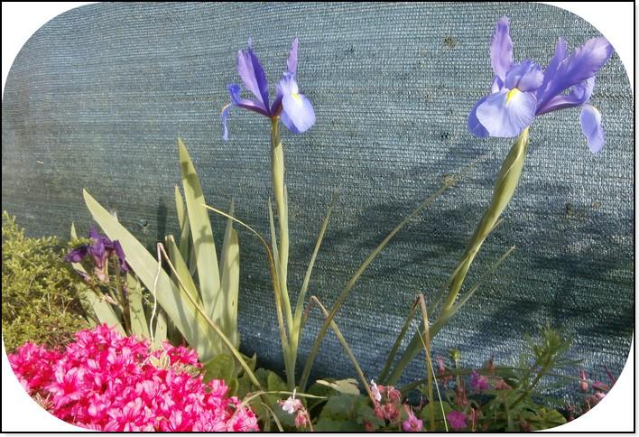 mes-premiers-iris
