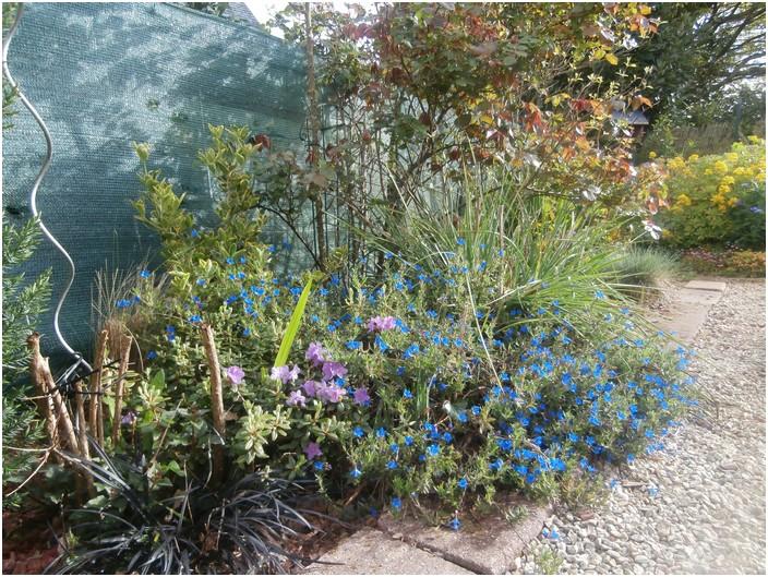 Lithodora en fleurs
