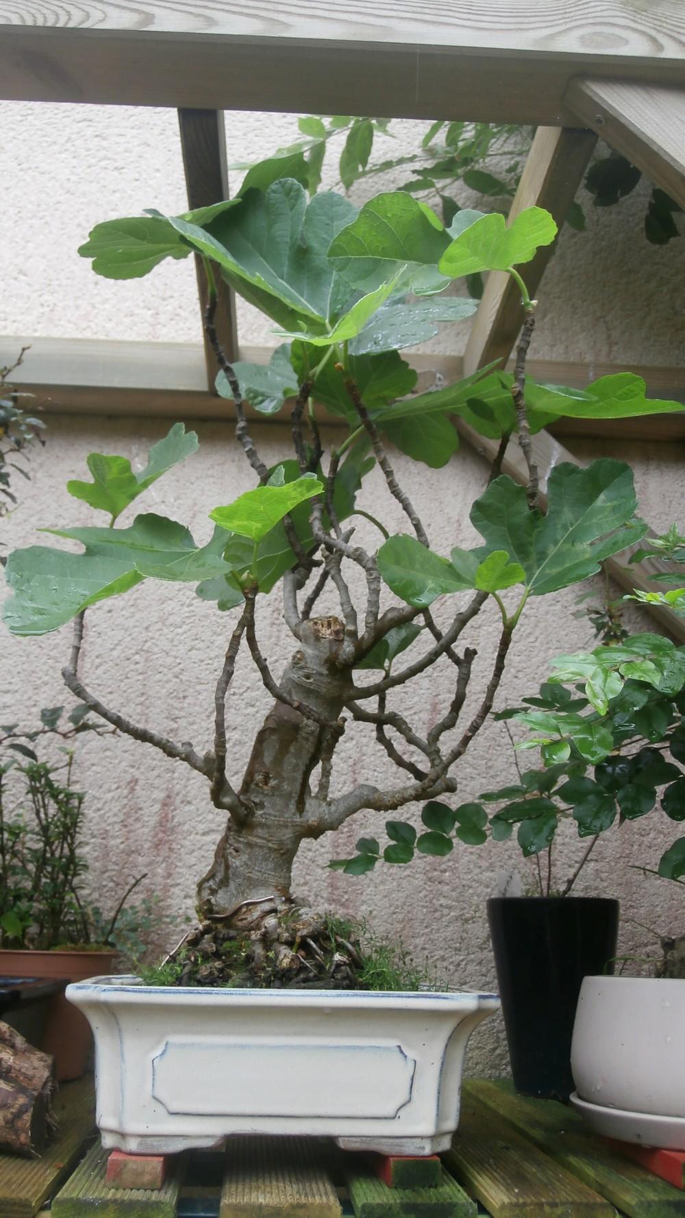 "bonsai "" figuier"""