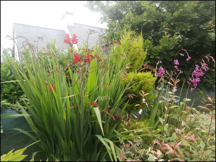 Croscomia-hortensia-dierama