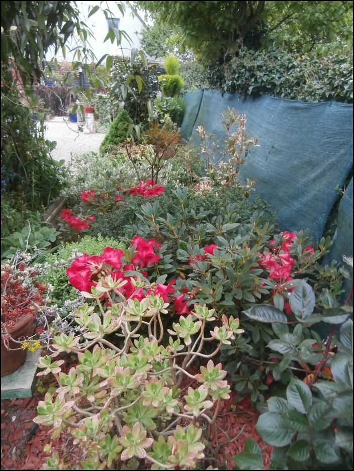 Rhododendrons nains