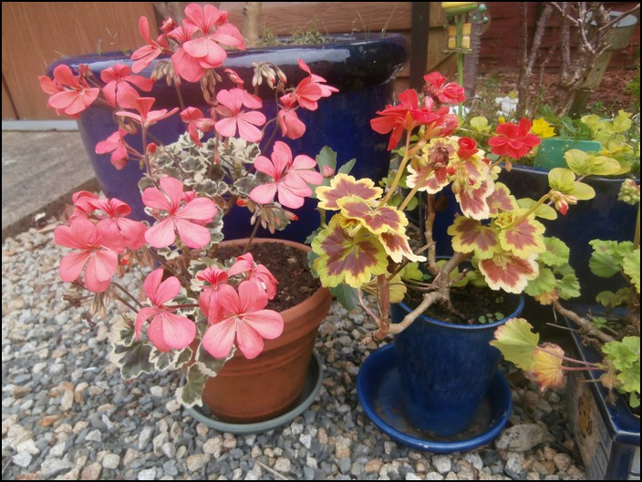 geraniums panachés