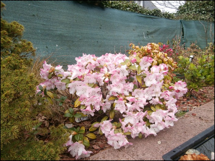 Rhododendrons rose