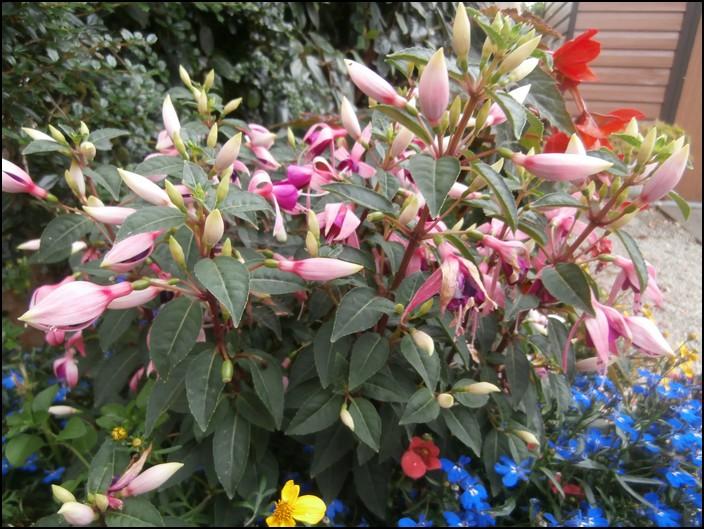 Fuchsia ros