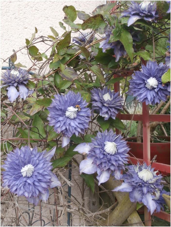 """Clématite """" multi_blue"""""""